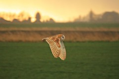 Barn owl (gilltheaker) Tags: inflight norfolk hunting panning barnowl welney naturesfinest blueribbonwinner 1252 abigfave goldmedalwinner platinumphoto impressedbeauty ultimateshot incrediblenature theperfectphotographer goldstaraward beautifulworldchallenges