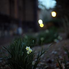 twilight narcissus (F_blue) Tags: tokyo kodak hasselblad 500cm portra160vc planart c8028 fblue2008