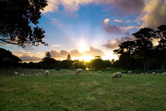 A Sheepish Sunset (Chris Gin) Tags: sunset newzealand sky grass sheep auckland nz lambs cornwallpark ndfilter gndfilter neutraldensity passionphotography graduatedfilter excellentphotographerawards goldstaraward
