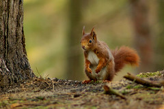 Bushy tails are back in fashion (Chris Beesley) Tags: red nature squirrel pentax reserve super formby naturesfinest supershot k100d justpentax