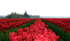 DSC_3014.NEF (Vlad B.) Tags: flower field tulip
