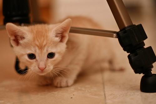 anak kucing parsia