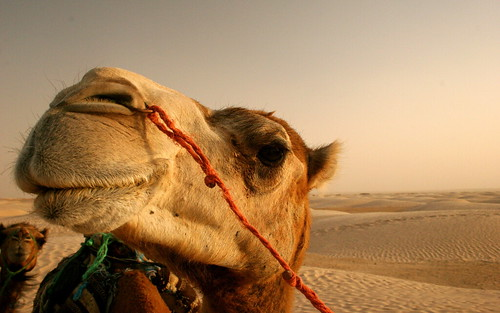 00944_camel_2560x1600.jpg