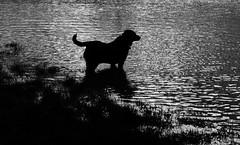 Labrador's Paradise (meg price) Tags: bw reflection water labrador jess blacklab thelittledoglaughed