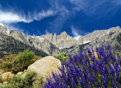 Mt Whitney and Lupine (Bill Wight CA) Tags: california nature landscape nevada sierra wildflowers sierras mtwhitney lonepine lupine highsierra alabamahills easternhighsierra billwight copyright2010