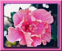 JOIE DE VIVE IN PINK FRILLS (fantartsy JJ *2013 year of LOVE!*) Tags: ocean california flowers friends sea vacation cute beach home nature beauty sand squirrels waiting searchthebest sweet cottage wallart oceanside urbannature dreams hopes southerncalifornia pictureperfect placesilove thinkgreen bej fantasticflower flickrgold irresistiblebeauty diamondclassphotographer flickrdiamond macroaward overtheexcellence macromarvels theperfectphotographer amazingmacros lahabreheights