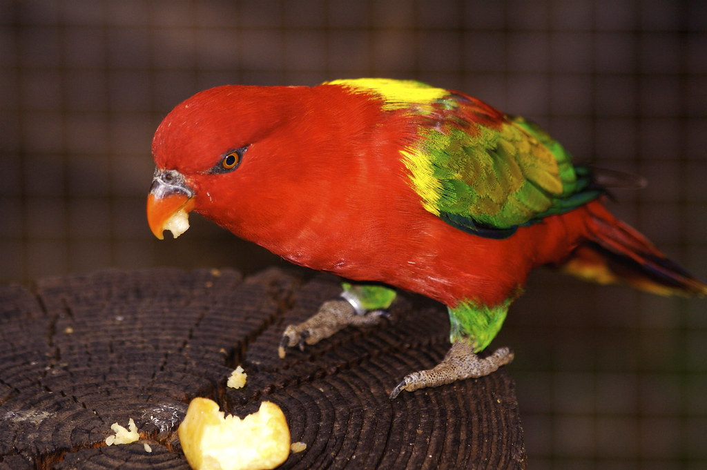 african parrots of yellow streaked lory habitat