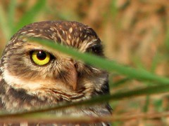 almost hidden (✿ Graça Vargas ✿) Tags: nature owl coruja graçavargas ©2008graçavargasallrightsreserved 39420241112