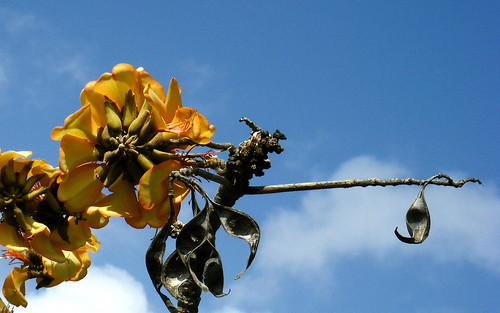 41. Yellow's Blossom and Seed Pods