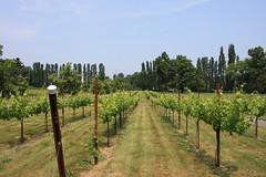 Vineyard (dherrera_96) Tags: vineyard pacificnorthwest washingtonstate chateaustemichellewinery woodinvillewa