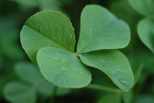 Four Leaf Clover 068