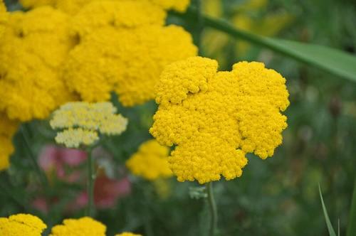 """Ightham Mote - pretty flower - Achillea """"Credo"""""""