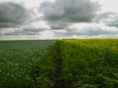 canola, meet flax (two stout monks) Tags: summer field manitoba flax conola