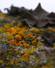 Lichens (randihausken) Tags: yellow lichen gul lav artcafe naturesgallery natureoutpost worldglobalaward globalworldawards