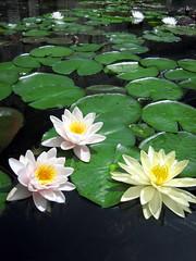 Water Lilies (joyosity) Tags: waterlilies naturesfinest gettyvilla