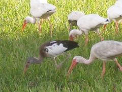 P8030011 (gruntersdad) Tags: birds ibis mylawn