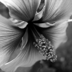 Of a somewhat local nature... (rustman) Tags: blackandwhite bw flower nature square backyard local somewhat gr2 grd2 ricohgrdigitalii