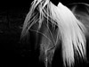 Cheval blond (Jerome Mercier) Tags: leica portrait horse france nature animal cheval noiretblanc blanc rhone b1w blackwhitephotos criniere leicadigilux3 digilux3 jeromemercier jeromemercierphoto jmbook bookjm