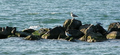 Three Lazy Musketeers (gonisj) Tags: seagulls lake beach water swimming sand rocks erie rockybeaches