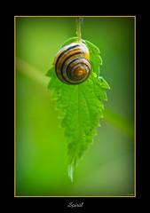 In a Spin (scuba_dooba) Tags: uk macro green iso800 leaf suffolk bokeh lakes snail naturereserve micro 105mm lackford golddragon nikkor105mmf28gvrmicro