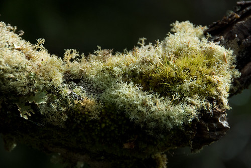 Moss on Tree Branch along King Billy Track