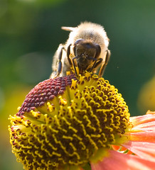 Bee on helenium flower *     - Close-up (v.plessky) Tags: flowers summer orange flower macro green nature yellow raw russia ngc vivid sigma bee abelha explore dynax7d maxxum7d ape bloom fabulous abeja jpeg 2008 soe abeille biene konicaminolta  naturelovers alr    familyasteraceae  helenium     sigmalens   konicaminoltadynax7d  sonnenbraut abigfave anawesomeshot sigma50mmf28exdg  diamondclassphotographer sigmaexdg buzznbugz macromarvels vadimplessky theperfectphotographer 50mmf28exdg excapturemacro natureselegantshots ahqmacro     damniwishidtakenthat elshowdelmacro  solbrudar