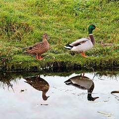 Nice couple (Plutone (NL)) Tags: reflection water grass duck couple ditch pair paar ducks gras polder eend eenden reflectie