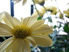 Happy Bokeh Wednesday (vana_gwen) Tags: flowers flores yellow poem bokeh amarelo bishop
