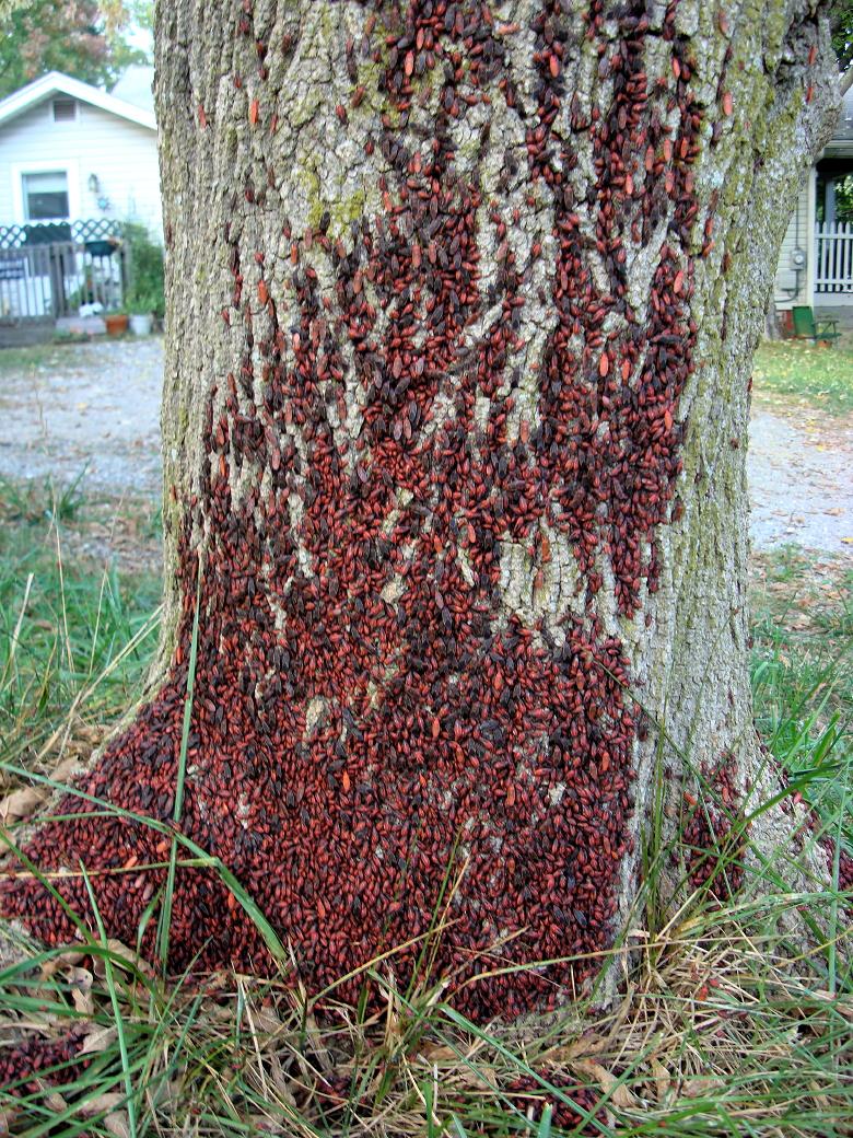 Box Elder Bug In Palm Beach County
