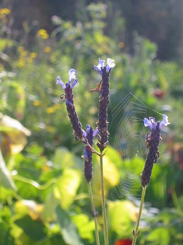 late lavender