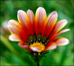 GAZANIA EXPLOSION OF COLOURS (by mjose_almeida)