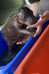 Monifa the baby pygmy hippo (urbanmenagerie) Tags: blue red baby cute sydney australia hippo calf ungulate pygmyhippo taronga tarongazoo pygmy monifa abigfave handreared auselite goldstaraward