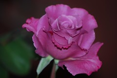 Excessive (fromky) Tags: california usa flower rose october vibrant bloom 2008 jamestown straightfromthecamera dsc2633 explorewinnersoftheworld