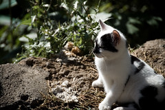 Afternoon Siesta (Melissa Maples) Tags: cliff white black animal cat turkey nikon kitten asia trkiye kitty antalya stray nikkor vr afs  18200mm   f3556g d40  18200mmf3556g