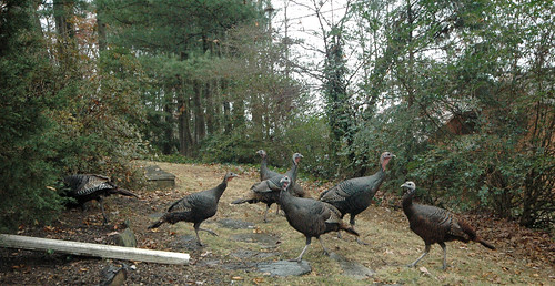 Turkeys every which way