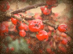 here comes suzy snowflake ('_ellen_') Tags: christmas red bush december berries