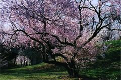(Caitlin Kunis) Tags: park pink shadow man green film girl cherry pretty dad blossom teen teenager