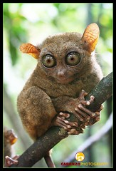 Tarsier - Bohol Philippines by caranzophotography