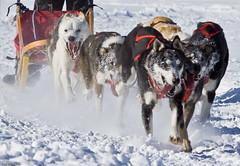 The dogs (Luc Deveault) Tags: dog chien canada animal race quebec hiver competition course qubec luc sled laurentides winther stagathedesmonts stagathe photosafarimtl deveault animauxqc classiqueronadagenais psm160208 lucdeveault