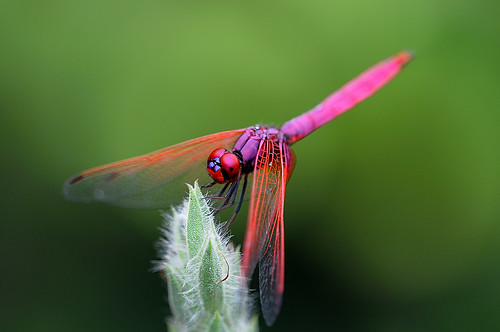 Violet Darter dragonfly with the Nikon D300 plus Sigma 150mm f/2.8 lens