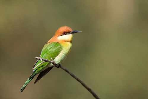 Chestnut-Headed Bee-Eater (Meropus Apiaster)