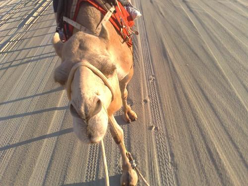 geo tagged camel