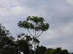 Pampa toucan
