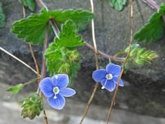 IMG_2354a (mausboam) Tags: hillside speedwell vc56 scrophularaceae