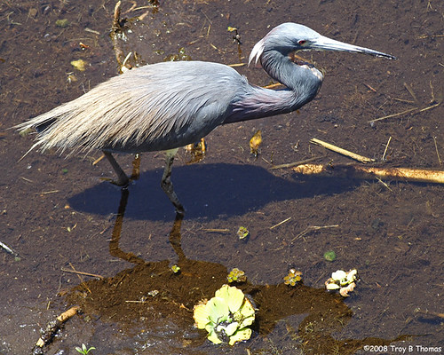 YoungTricoloredHeron_2