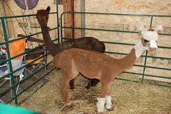 Shaved alpacas