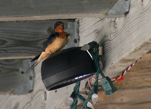 Barn Swallow on porch light