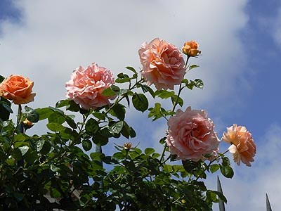 roses sur ciel bleu.jpg