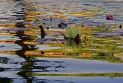Nenuphars and reflexes (L.Gouveia) Tags: lake portugal water reflections mafra nenfares naturesfinest nenuphars jardimdocerco mywinners anawesomeshot ilustrarportugal llemos