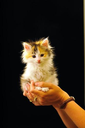 [フリー画像] 動物, 哺乳類, ネコ科, 猫・ネコ, 子猫・小猫, 200807151000